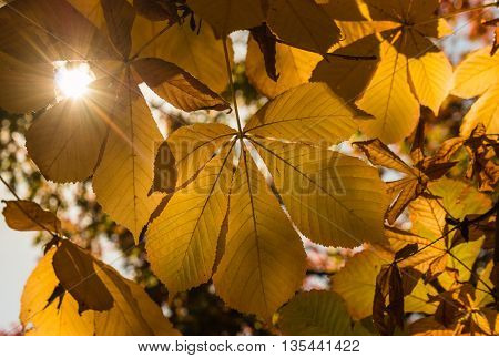 yellow horse chestnut leaves in autumn with lens flare