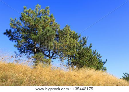 pine trees among dry grass under clear blue autumn sky