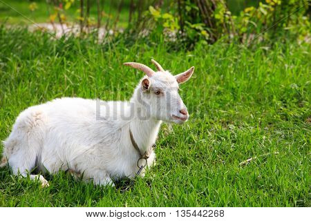 funny goat lying on green grass meadow