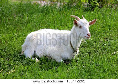 white goat rest on green grass pasture