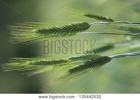 the unripe ears of wheat in a field in summer