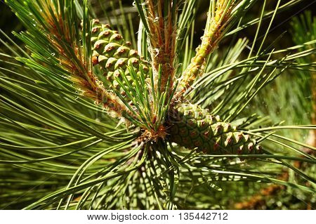 green pine cones in the crowns useful as a background or abstract