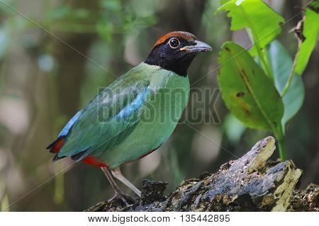 Hooded Pitta Pitta sordida Birds of Thailand