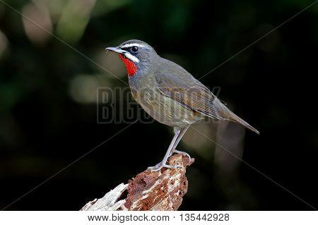 Siberian Rubythroat Calliope calliope Male Birds of Thailand