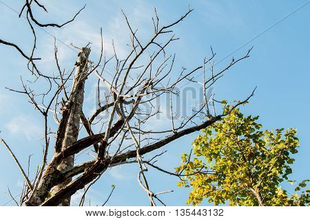 Branch of dead tree with blue sky and the tree is not dead