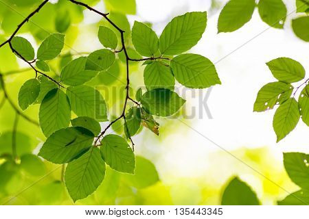 Fresh beech leaves under bright sunlight, shallow depth of field