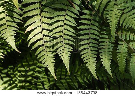 close up of sunlit silver fern leaves