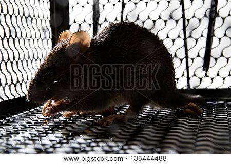 A Mouse In The Cage