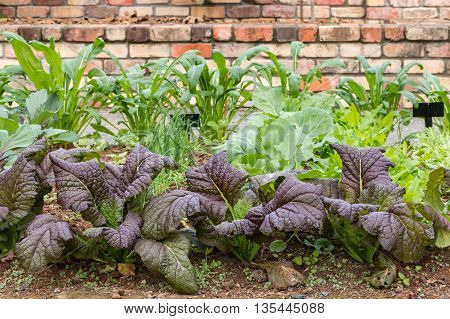 organic garden with selection of leafy vegetables