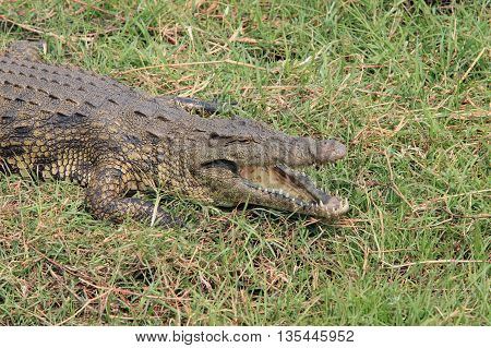 Crocodile with open jaws, lying in the grass of the African savannah, Chobe, Botswana