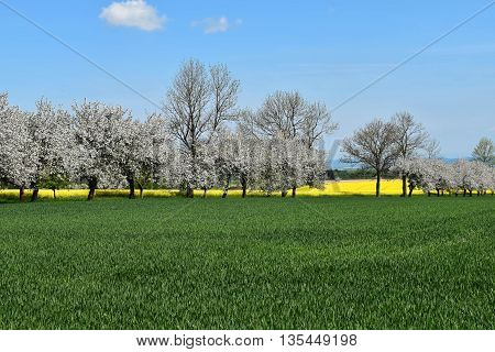 Spring landscape with flowering trees between fields