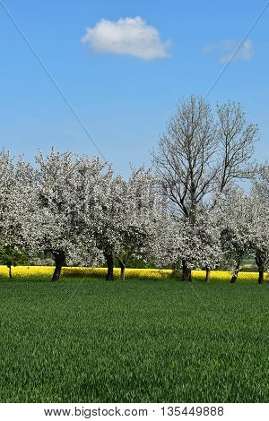 Spring landscape with flowering trees between fields. Blue sky.