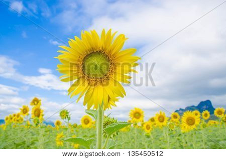 sunflower field bloom blue sky selective focus sunflowers bloom Sunflowers in the field The most beautiful sunflower in a field yellow flower yellow flora yellow blossom