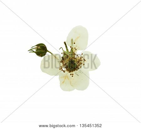 Pressed and dried buds and bright white flower blackberries. Isolated on white background. For use in scrapbooking pressed floristry (oshibana) or herbarium.