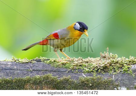 Silver-eared Mesia Leiothrix argentauris Birds of Thailand