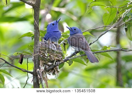 Black-naped Monarch Hypothymis azurea Family Babys in nest