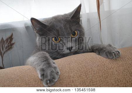Красивая, серая кошка цепляется когтями за диван.