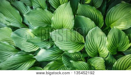 Green leaves with arc-shaped streaks close up natural background
