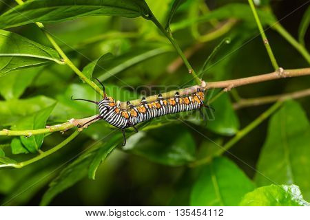 Common Indian Crow Caterpillar