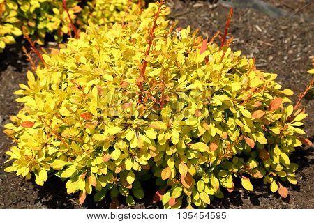 Ornamental shrubs with colorful leaves. Berberis thunbergii.