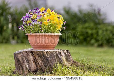Pansies in Flower Pot on Tree Stump with grass around it.