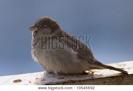 Brown sparrow sits on a beam