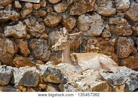 Young deer lying and resting among the rocks