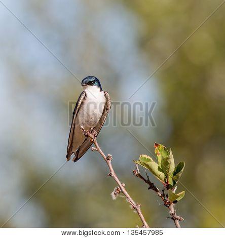 Tree Swallow - Tachycineta bicolor, adult, male