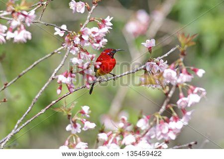 Mrs Gould's sunbird Aethopyga gouldiae Male Birds of Thailand