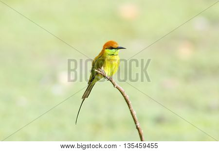 Green Bee-eater Merops orientalis Birds of Thailand