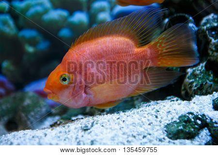 One aquarium fish red parrot in the aquarium