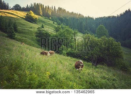 Green meadow in mountains and cows, summer landscape.