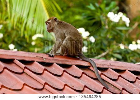 longtaile macaque sitting on the roof, Brunei Darussalam.