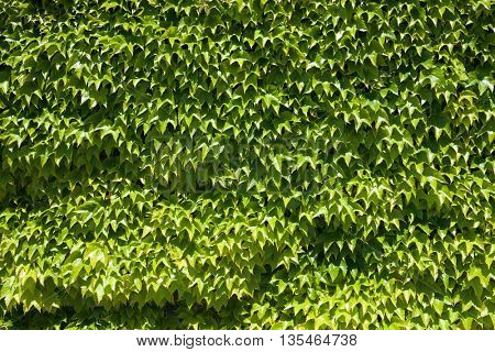 Ivy background at high resolution.
