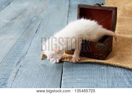 Cute white tiny Kitten in wooden jewel box. Small newborn cat in jewel box at