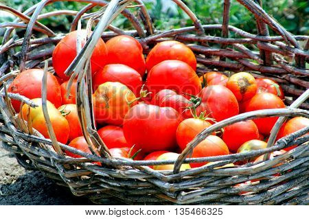 Organic red ripe tomatoes picked right from the garden.