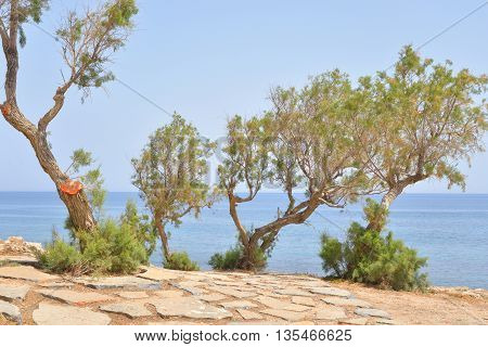Pine trees on the shore of the Sea of Crete. Greece.