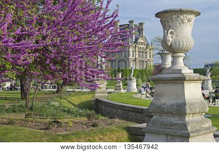 PARIS FRANCE - MAY 8 2016: Blossoming Cercis Siliquastrum (Judas tree). Tuileries Garden. Paris. France.