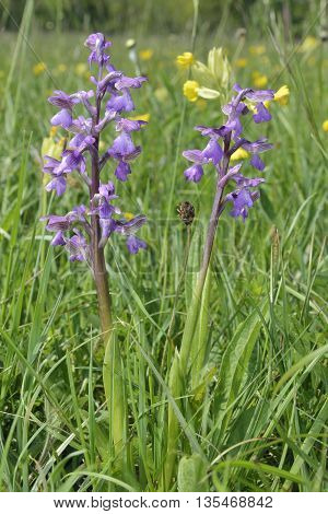 Green-winged Orchid - Anacamptis morio Two flowers with Cowslip