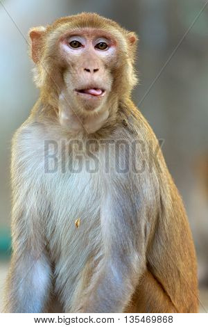 Rhesus macaque Description: Rhesus macaques are masters of cute expression. Rhesus monkeys are common in Northern India. They are a common site at Keoladeo National Park, Bhartpur, Rajasthan