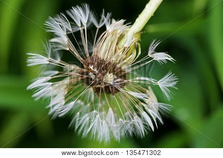 Wet blowball (clock) of Dandelion flower head with many small florets after the rain during summer in Austria, Europe (Taraxacum officinale)