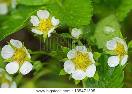 Closeup of home grown Strawberry flowers blossoming in the garden with raindrops during summer in Europe