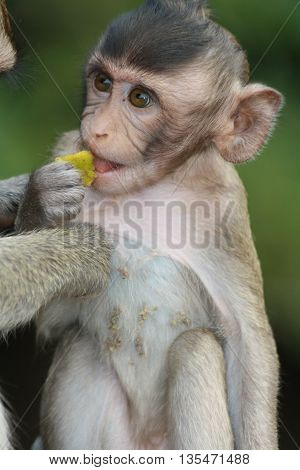 Young Long-Tailed Macaque being groomed by mother at Angkor Wat Cambodia