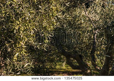 olive tree with green olives in olive grove