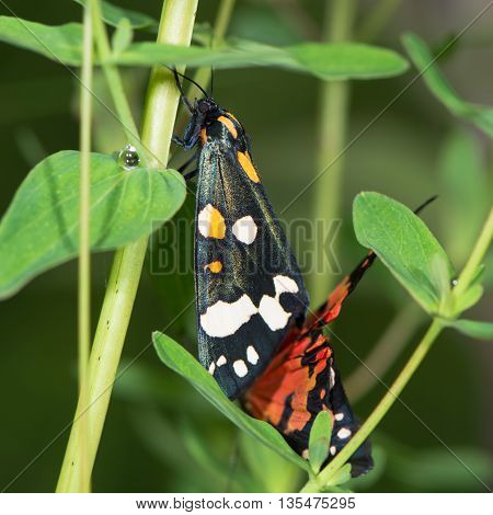 Scarlet tiger moths (Callimorpha dominula) mating on vegetation. Brightly coloured British insects in the family Erebidae previously Arctiidae in cop