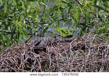 Water snakes resting in dried vines on the shoreline of Nassau Bay with bright green leaves in the background.