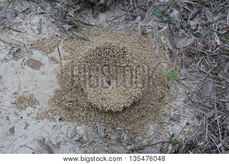Concave insect mound built on parched ground, surround by stray and dry leaves. Sparse small green sprigs offer signs of life.