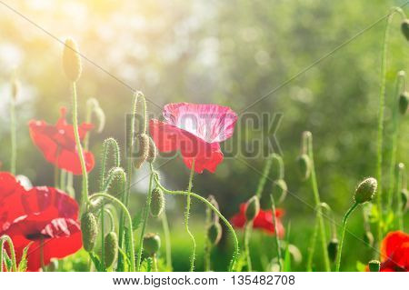 Flowering poppies. A field of poppies. Sunlight shines on plants. Red spring flowers. Gentle warm soft colors, blurred background.