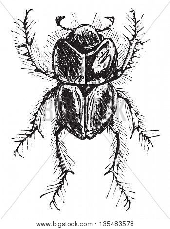 Earth-boring Dung Beetle or Lethrus spp. Lethrus is one genus of Earth-boring Dung Beetles or family Geotrupidae (comprised of 600 different species). From Domestic Life, vintage engraving, 1880.