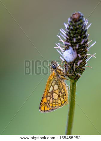 Sleeping Chequered Skipper